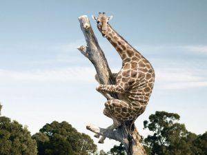 susto-de-jirafa[1]